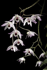 Dendrobium shixingense '#2001' Z.L.Chen, S.J.Zeng & J.Duan, Nordic J. Bot. 28: 723 (2010)