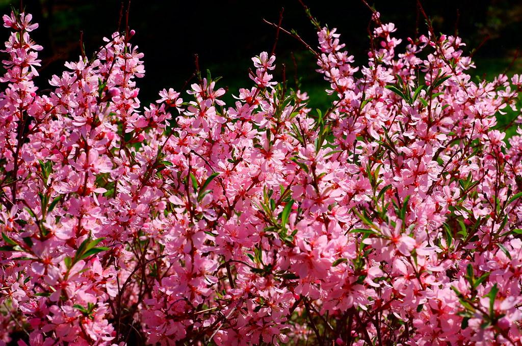 фото: Цветущий миндаль