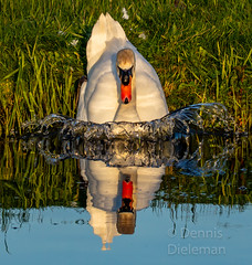 """Mother swan sliding into the water • <a style=""""font-size:0.8em;"""" href=""""http://www.flickr.com/photos/125767964@N08/51206890383/"""" target=""""_blank"""">View on Flickr</a>"""