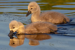 """Two baby swans • <a style=""""font-size:0.8em;"""" href=""""http://www.flickr.com/photos/125767964@N08/51207453289/"""" target=""""_blank"""">View on Flickr</a>"""