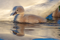 """Baby swan seeking shelter • <a style=""""font-size:0.8em;"""" href=""""http://www.flickr.com/photos/125767964@N08/51207453399/"""" target=""""_blank"""">View on Flickr</a>"""