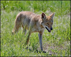 May 25, 2021 - Coyote out for a stroll.  (Bill Hutchinson)
