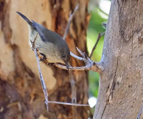Western Thornbills (Acanthiza inornata)