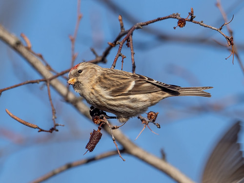 """Common Redpoll (Lifer) • <a style=""""font-size:0.8em;"""" href=""""http://www.flickr.com/photos/59465790@N04/51217452524/"""" target=""""_blank"""">View on Flickr</a>"""