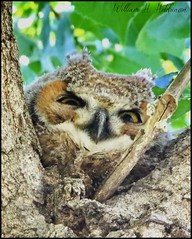 May 27, 2021 - A young owl keeping watch. (Bill Hutchinson)