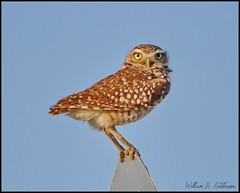 May 24, 2021 - Burrowing owl is all eyes.  (Bill Hutchinson)