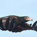 Aquila audax