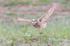 Burrowing owl stays focused on the photographer in flight