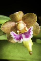 Vanda flabellata (Rolfe ex Downie) Christenson, Indian Orchid J. 1: 156 (1985).