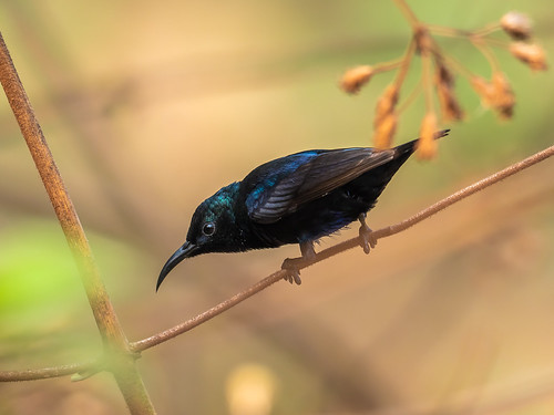 """Purple Sunbird • <a style=""""font-size:0.8em;"""" href=""""http://www.flickr.com/photos/59465790@N04/51222972754/"""" target=""""_blank"""">View on Flickr</a>"""