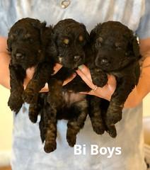 Toffee Bi Boys 6-4