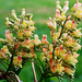 "Cincinnati - Spring Grove Cemetery & Arboretum ""Ohio Buckeye Tree - Flowers"""