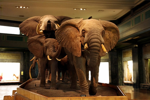 New York City USA - American Museum of Natural History - Akeley Hall of African Mammals - African Elephants 01