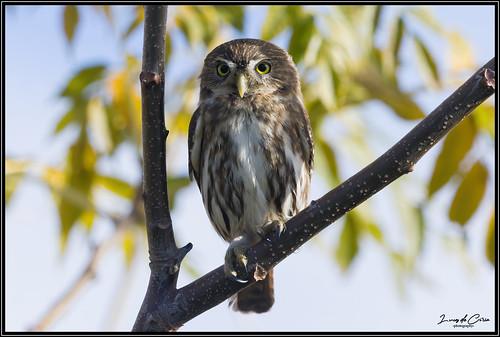 Caburé Chico, Ferruginous Pygmy-owl (Glaucidium brasilianum)
