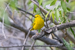 June 5, 2021 - A bright yellow warbler.(Tony's Takes)