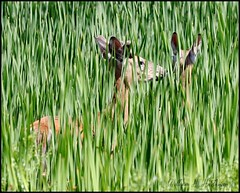 June 7, 2021 - Deer staying cool in the grass. (Bill Hutchinson)
