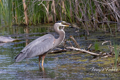 June 5, 2021 - Great blue heron catches dinner. (Tony's Takes)