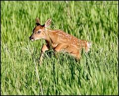 June 4, 2021 - A deer fawn testing its legs. (Bill Hutchinson)