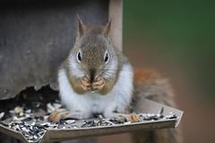 Backyard Red & Fox Squirrels (Ypsilanti, Michigan) - 158/2021 361/P365Year13 4744/P365all-time (June 7, 2021)