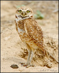 June 7, 2021 - Burrowing owl up close. (Bill Hutchinson)