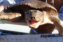 Texas Spiny Softshell Turtle - Apalone spinifera emoryi