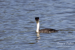 June 5, 2021 - Western grebe out for a swim. (Tony's Takes)