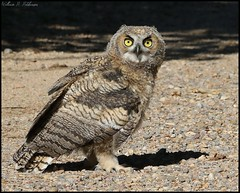 June 4, 2021 - A great horned owl owlet hanging out. (Bill Hutchinson)