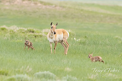 June 2, 2021 - Pronghorn doe and her new fawns. (Tony's Takes)