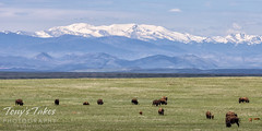 June 2, 2021 - Bison in northern Colorado. (Tony's Takes)