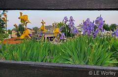 June 8, 2021 - June blooms in Thornton. (LE Worley)