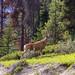 Deer - Alberta Canada
