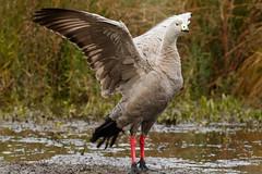20210609_2133_7D2-400 Cape Barren Goose (160/365)