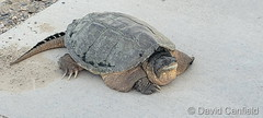 June 8, 2021 - Snapping turtle on the move. Slowly. (David Canfield)