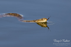 Northern watersnake takes to the water