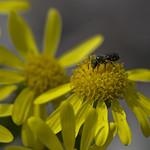 little black bee