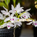 Dendrobium parishii – Lisa Humphries