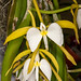 Coilostylis parkinsoniana – Judy Dyer