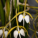 Coilostylis parkinsoniana – Alex Nadzan