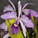 Lc. Canhamiana var. coerulea – Anita Spencer