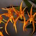 Brassia Memoria Bert Field – Judy Dyer