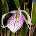 Unk. Cattleya hybrid – Jim Anderson