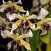 Dendrobium atroviolaceum – Lisa Humphries