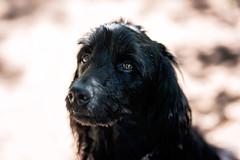 159/365 Shaggy and Stunning Black Dog