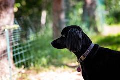 161/365 Freshly Laundered Black Dog