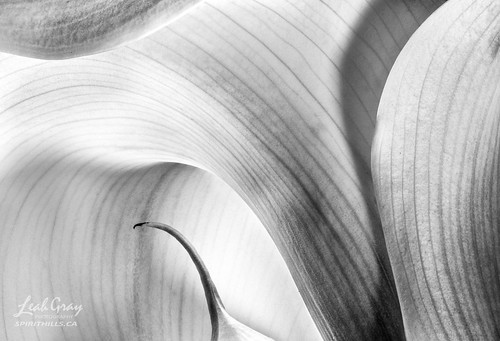 """Calla Lily study • <a style=""""font-size:0.8em;"""" href=""""http://www.flickr.com/photos/106269596@N05/51239553607/"""" target=""""_blank"""">View on Flickr</a>"""