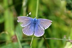 Common Blue (Polyommatus icarus) ♂