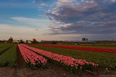 Last flower fields @ sunset
