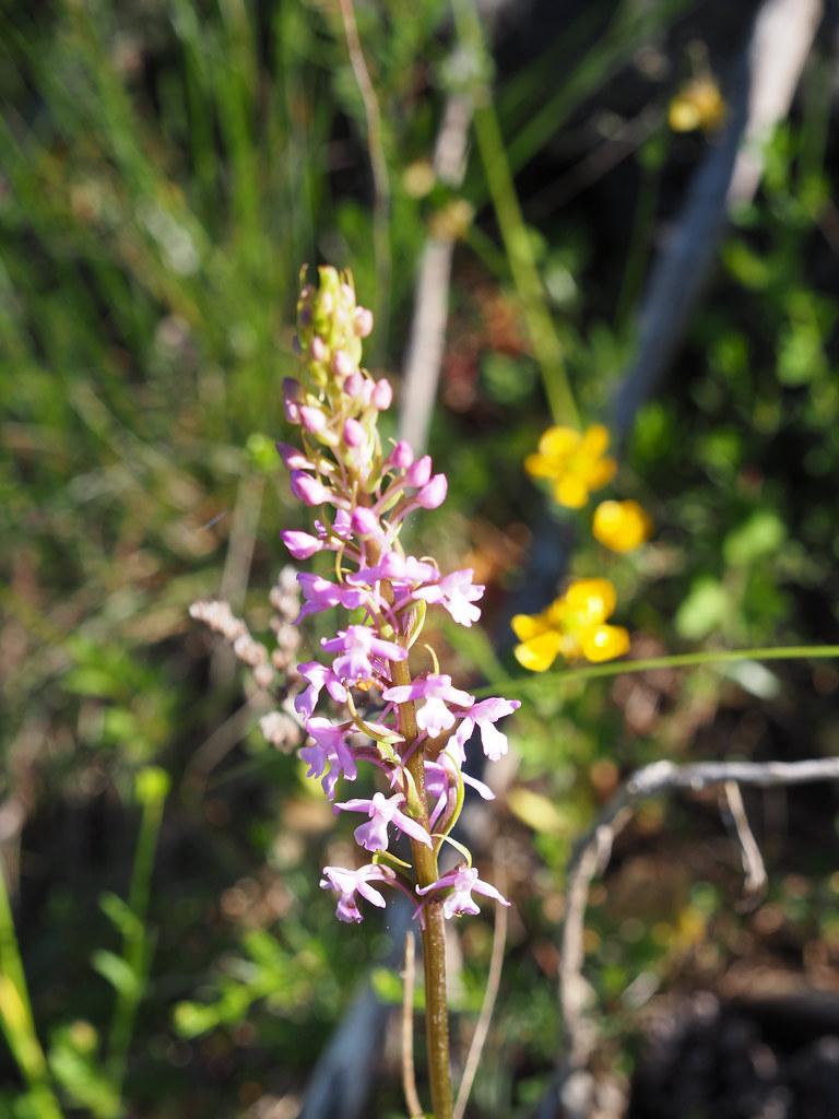 9-0-gymnadenia conopsea