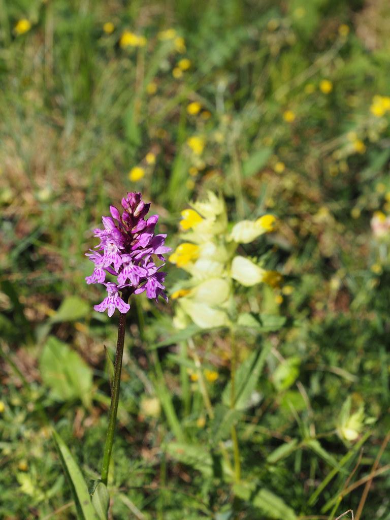 8-1-orchis fuchsii