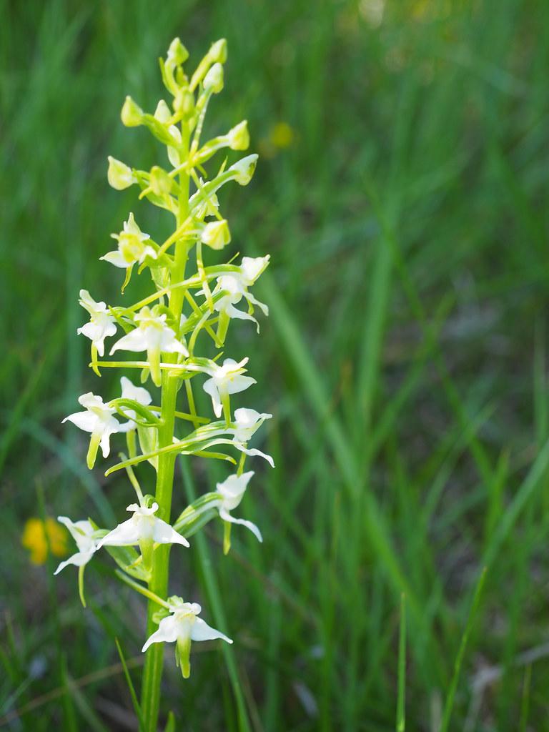 20-0-platanthera chlorantha